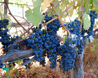 Petit Verdot grapes
