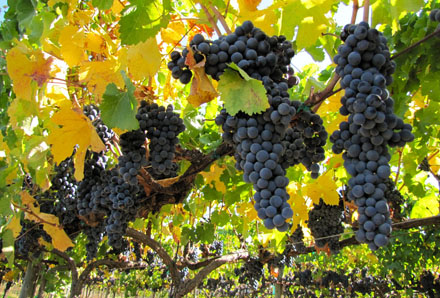 Russian River Pinot Noir grapes