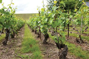 Champagne Grape Vines