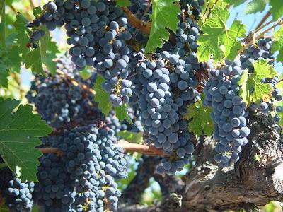 California red grapes