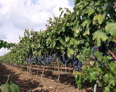 Negroamaro grape harvest